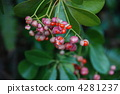 japanese, spindle, euonymus 4281237