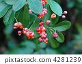 japanese, spindle, euonymus 4281239