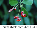japanese, spindle, tree 4281243