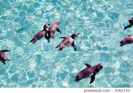 Penguins on the surface of the water 4282143