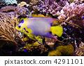 女王·神仙魚 4291101