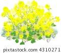 ดอกไม้ข่มขืน 4310271