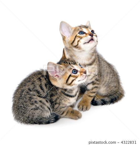 Kittens white back 4322831