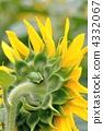 向日葵和雨蛙 4332067