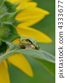 向日葵和雨蛙 4333677