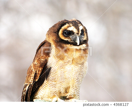 owl, avian, outdoors 4368127