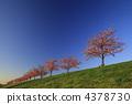 가로수, 벚꽃길, 키와즈 벚꽃 4378730