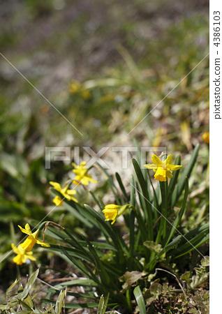 daffodil, narcissus, daffodils 4386103