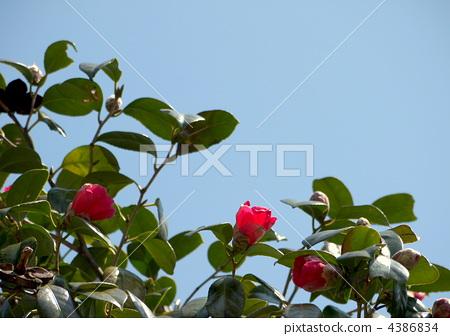 camellia 4386834