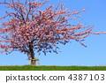 벚꽃, 키와즈 벚꽃, 카와즈자쿠라 4387103
