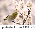 繡眼鳥 小鳥 鳥兒 4394176