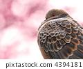 紅褐色斑鳩 東方斑鳩 鴿子 4394181