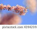 ดอกซากุระบาน,ซากุระบาน,ดอกไม้ 4394209