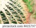 Ceremonial / cactus / Kim Yeon (kishashirchi) / Echino cactus 4415797