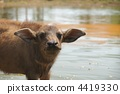 calf, farm, animal 4419330