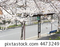 버스 정류장, 벚꽃, 꽃 4473249
