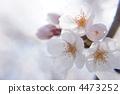 벚꽃, 꽃, 플라워 4473252