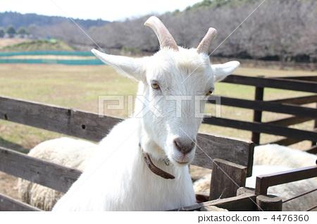 White Goat 4476360