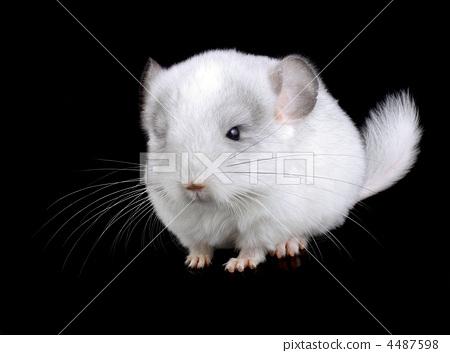 White baby  ebonite chinchilla on black 4487598