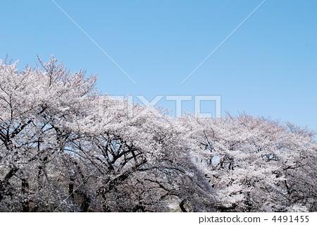桜一色 4491455
