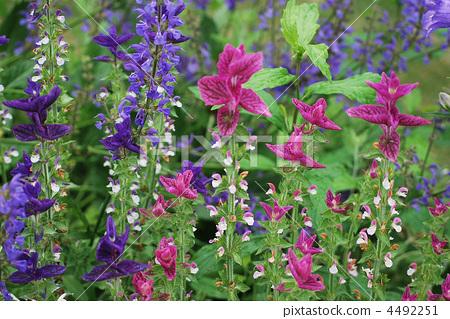 Salvia Holominum 4492251