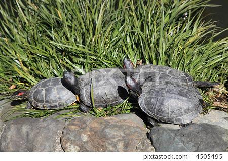 거북이 껍질 말린 4505495