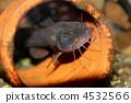 鯰魚 4532566