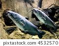鯰魚 4532570