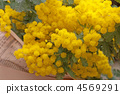 Mimosa 4569291