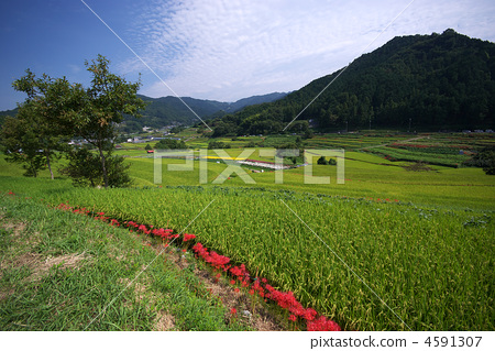 明日香村 水稻 奈良-照片素材(圖片) [4591307] - PIXTA圖庫