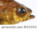 Golden Meval (Head) 4592050