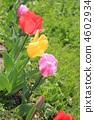 郁金香 花朵 花卉 4602934