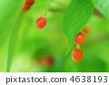 붉은, 열매, 빨간 4638193