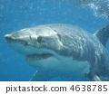 ฉลาม 4638785