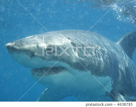 great white shark, shark, sharks 4638785