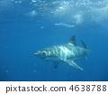 ฉลาม 4638788