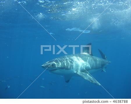 great white shark, shark, sharks 4638788