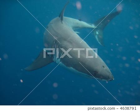 great white shark, shark, sharks 4638791