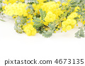 Mimosa flowers * Natural 4673135