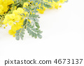 Mimosa flowers * Natural 4673137
