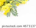 미모사 꽃 * 자연 4673137