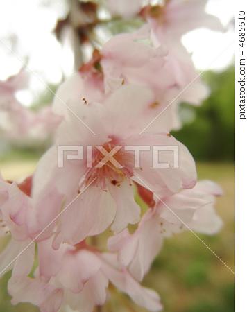 櫻花雙葉(Yebenishidare)花語:恩典 4685610