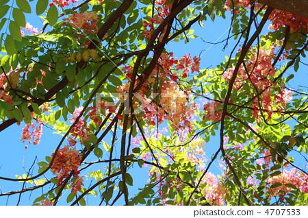 샤워 트리 애플 꽃 코랄 샤워 트리 하와이 괌 사이판 열대 가로수 4707533
