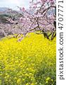 복숭아와 유채 꽃 4707771