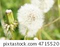 민들레, 솜털, 화이트 4715520