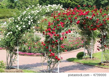 玫瑰拱門 4739000