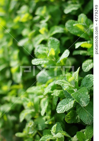 애플 민트 (허브) : 둥근 잎 박하 4779249