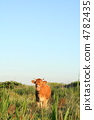 Cow 4782435