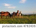 Horse 4782436