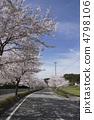 지방도 카와 니시 타선의 벚꽃 4798106